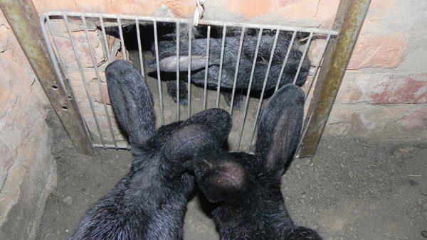 Задвижка на входе в яму для кроликов
