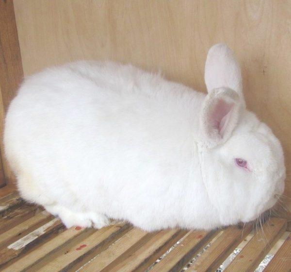Белая порода кроликов