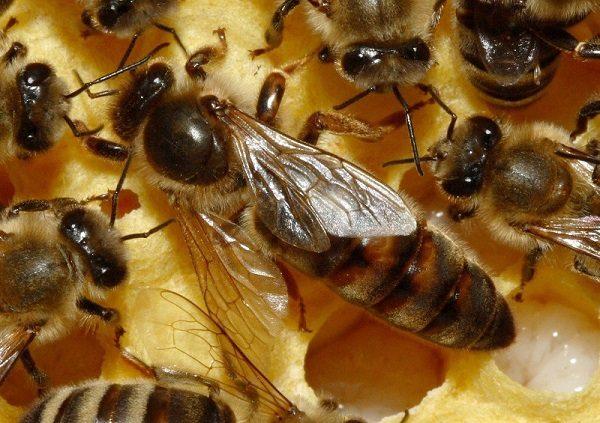 Вид матки пчелы крупным планом
