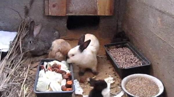 Кролики едят в яме