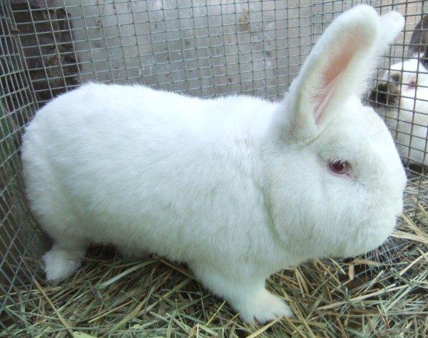 Кролик белый новозеландский