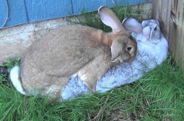 Забой кроликов в домашних условиях, как и что нужно 85