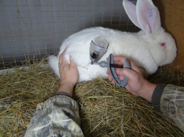 Вакцинация кроликов