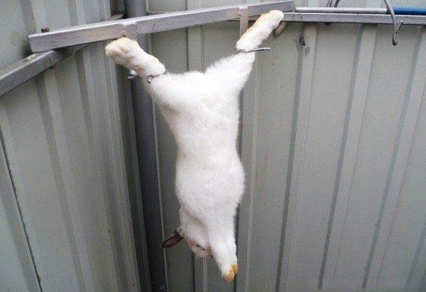 Кролик перед снятием шкуры