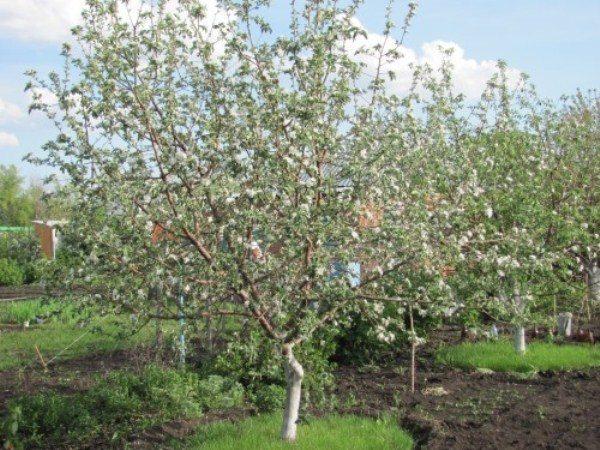Яблоня осеннее полосатое описание фото отзывы