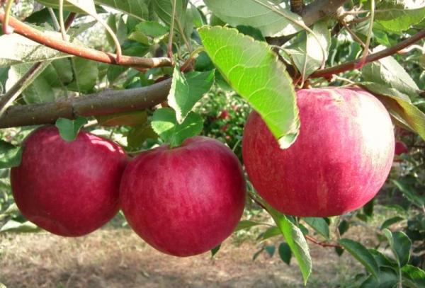 """Яблоня сорта """"Слава Победителям"""": описательные характеристики"""