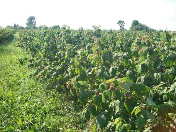 Повявшие листы кустов малины полька