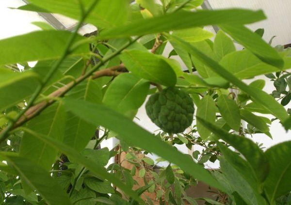 Отвары и настои из листьев сахарного яблока используют при педикулёзе