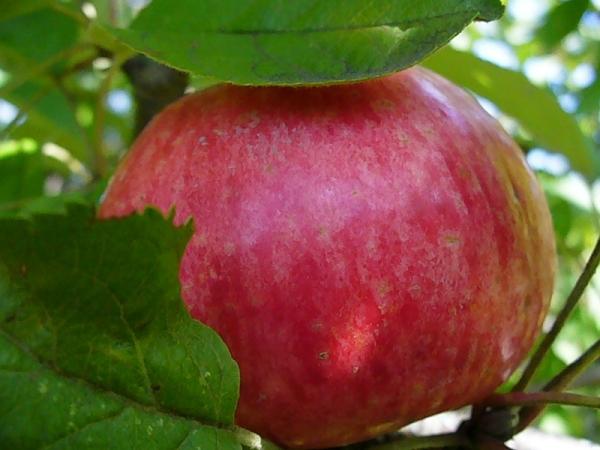"""Достоинством сорта """"Медовая"""" является то, что созревшие плоды яблони не осыпаются"""
