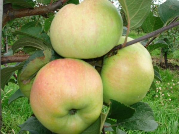 """Яблоки сорта """"Богатырь"""" собирают в октябре-декабре"""