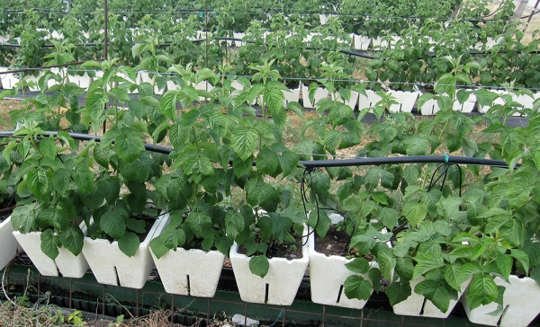 Малину можно вырастить из семян в открытом грунте и в горшках