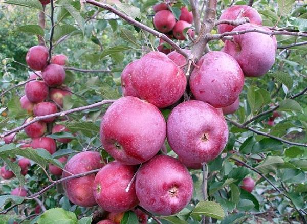 "Яблоня сорта ""Спартан"": описание и характеристики, правила посадки и ухода"