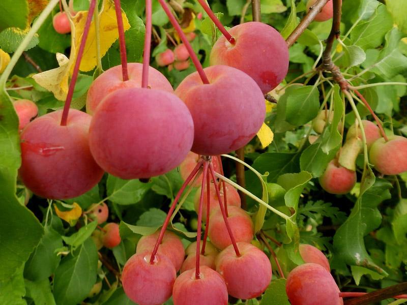 яблоки алтайка фото