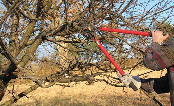 Для улучшения урожая дерево необходимо прореживать