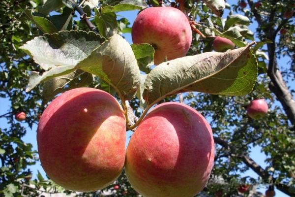 Яблоня сорта Жигулевское: описательные характеристики, история селекции