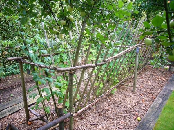 Посадка малины по Соболеву гарантирует обильный урожай