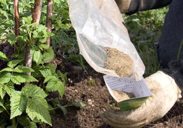 В лунки перед посадкой малины кладут азотно-минеральные удобрения