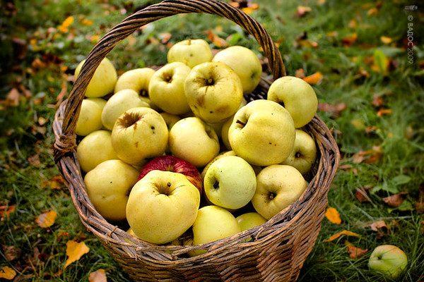 Яблоки Антоновка в корзине
