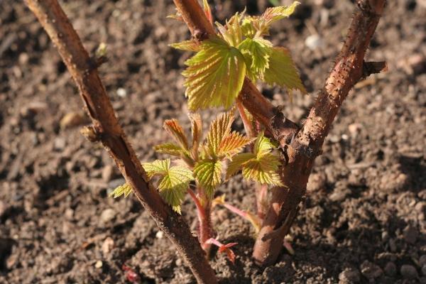 Высаживать малину можно весной и осенью