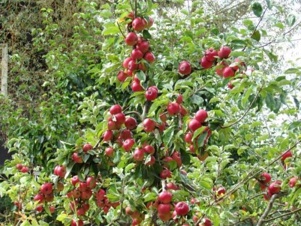 """Для посадки яблони """"Медовая"""" выбирают хорошо освещенное место"""