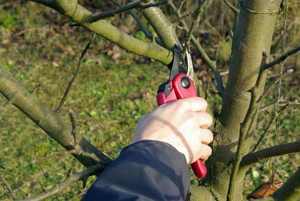 Обрезка яблони весной