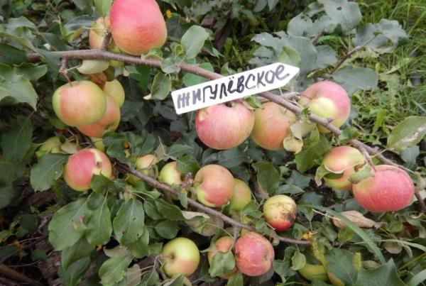 яблоко жигулевское фото