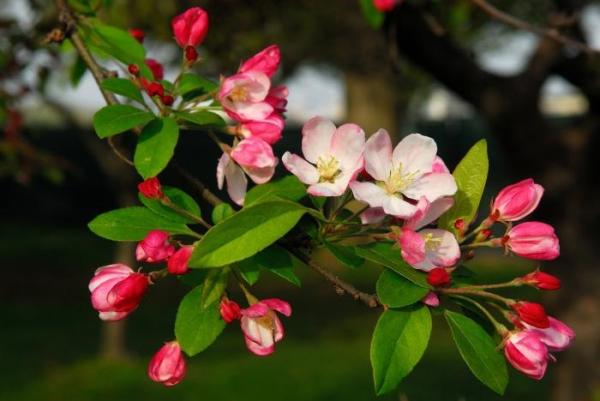 """В зависимости от региона произрастания яблоня """"Слава Победителям"""" плодоносит как летом, так и осенью"""