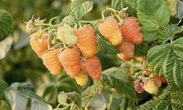 """Ягоды малины """"Оранжевое чудо"""" на кусте"""