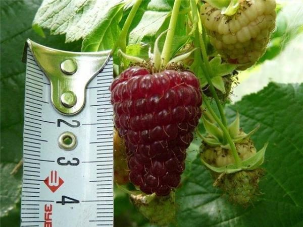Крупные ягоды малины патриция