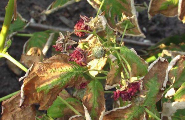 Засыхание ягод малины