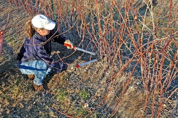 Подрезать нужно не только старые побеги малины, но и больные ветки