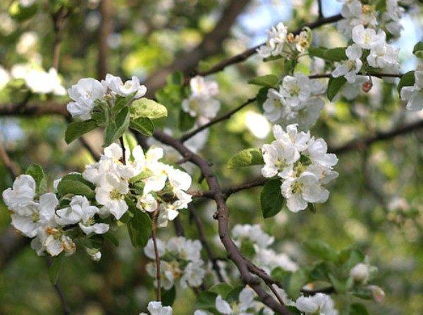 Соцветия яблони штрифель