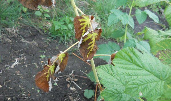 Засыхание листьев малины