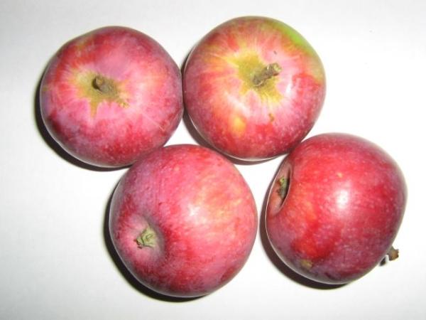 """К достоинствам сорта яблок """"Слава Победителям"""" относятся стабильность урожая и морозостойкость"""