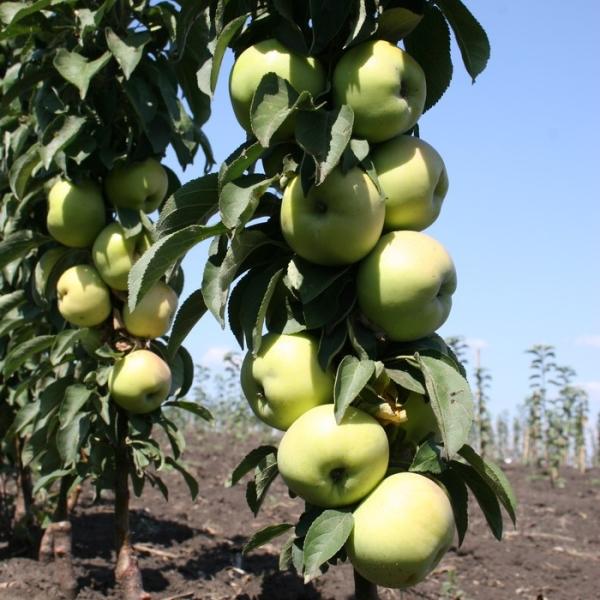 Благодаря прочной и твердой древесине яблоне не страшны сильные ветра и любые другие плохие погодные условия