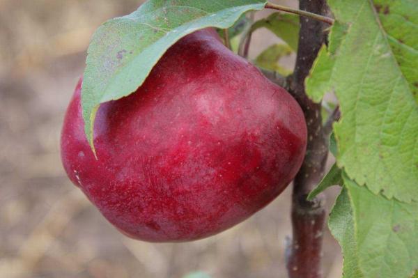 Недостатками яблок сорта Лобо является их небольшой срок хранения и подверженность парше и мучнистой росе