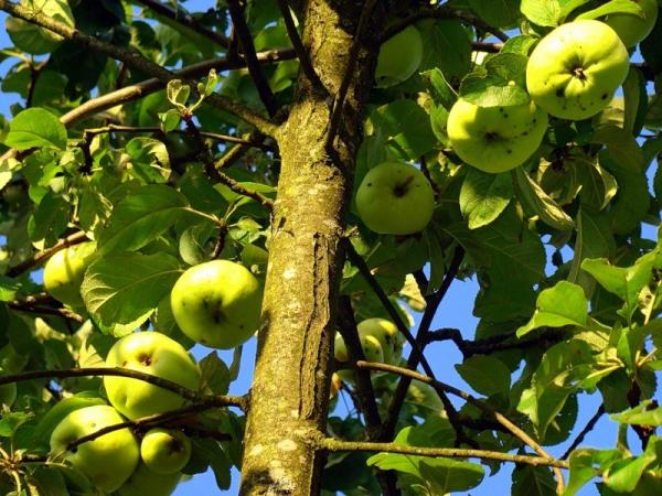 """По вкусу яблоки сорта """"Богатырь"""" кисло-сладкие, с шикарным ароматом"""