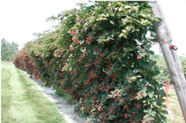 Кусты малины с плодами подвязаны к опорам