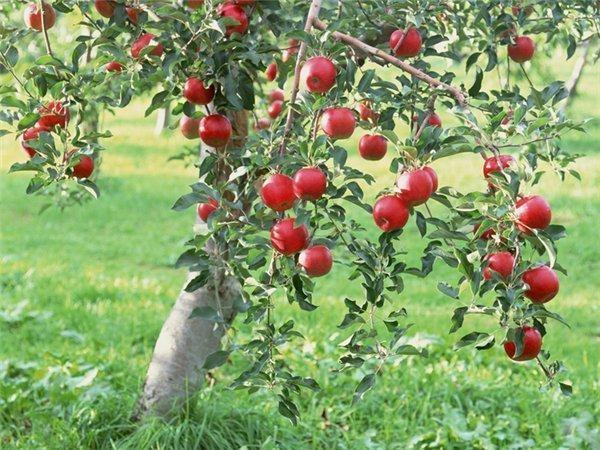 """Яблоня сорта """"Медовая"""" - это летний десертный сорт"""