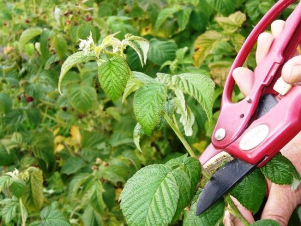Прищипывать стоит только высокорослые сорта малины