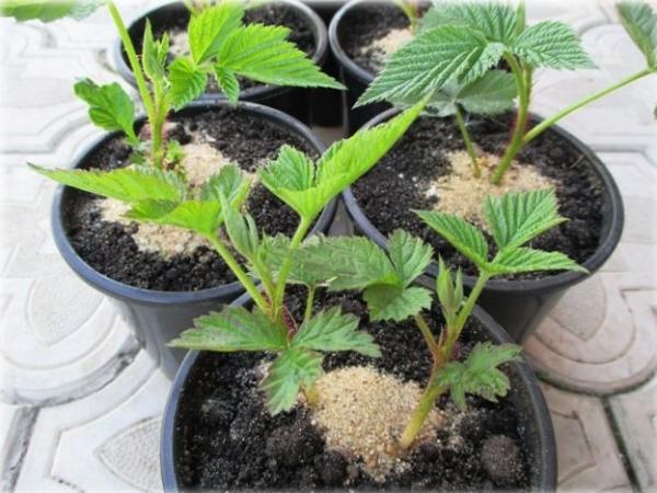 Размножение малины: способы и методы, особенности посадки саженцев