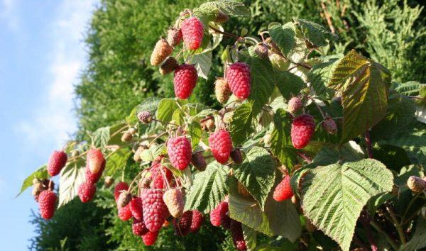 """Спелые ягоды на кусте """"Брянского дива"""""""