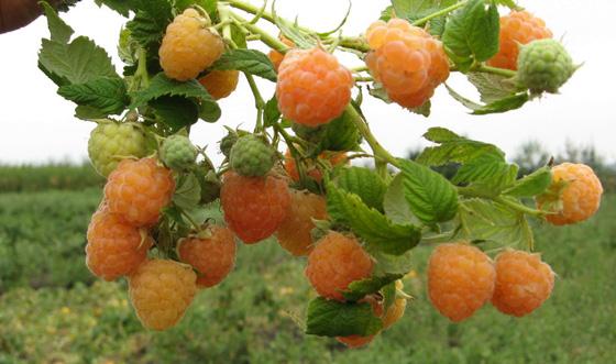 Куст абрикосовой малины