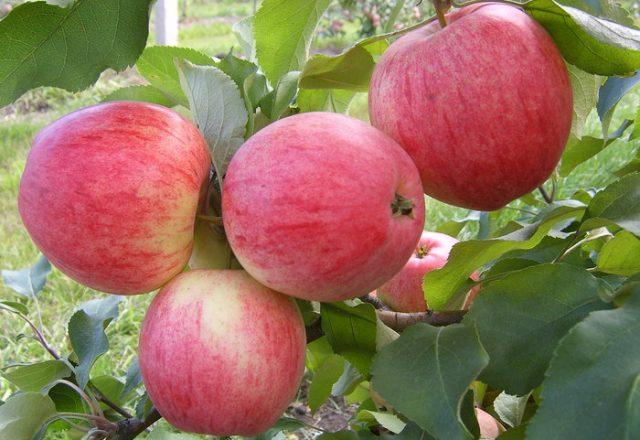 Яблоки Анис