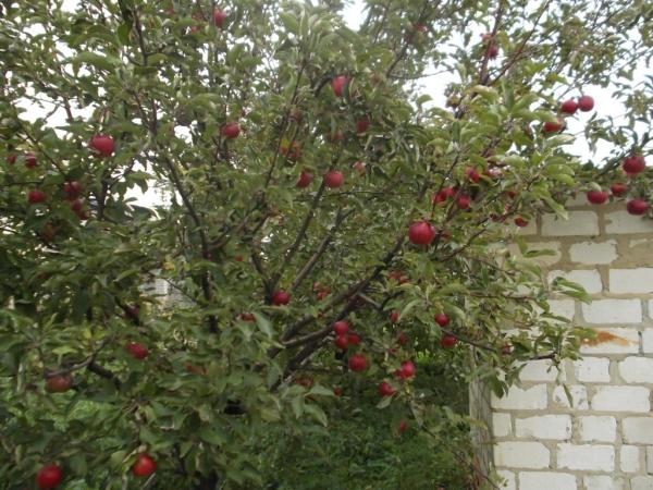 """Подкармливать яблоню """"Спартан"""" нужно четыре раза за сезон в определенное время"""