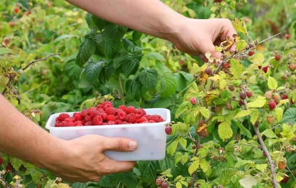 Сорт малины Маросейка плодоносит каждый год