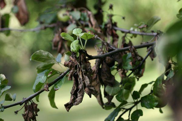 Бактериоз на листьях яблони