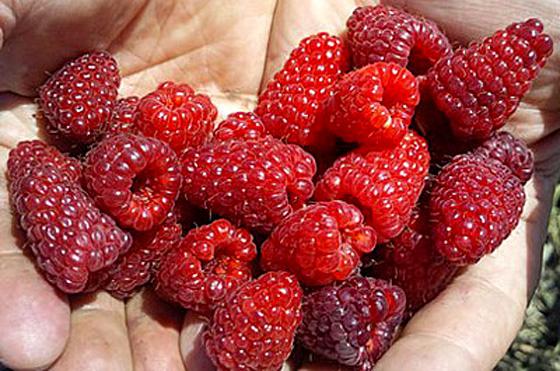 Сбор спелых ягод малины