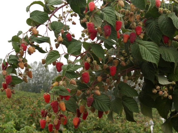 Штамбовая малина: характеристики и описание сортов, посадка и уход