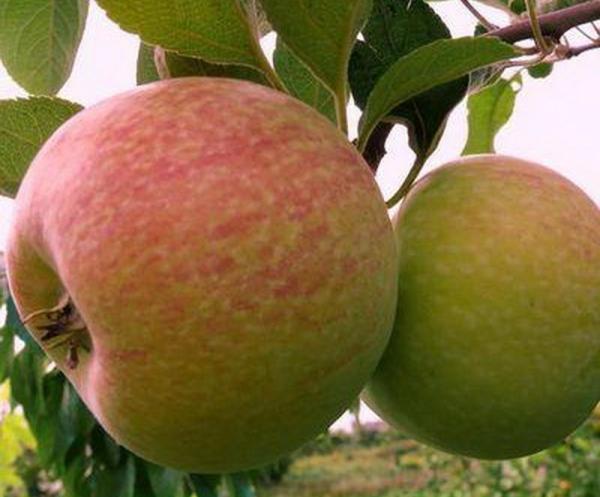 """Сорт яблонь """"Конфетное"""": описательные характеристики, правила посадки и ухода"""